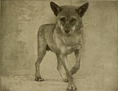 Fichier:Arabianwolfjackal.jpg