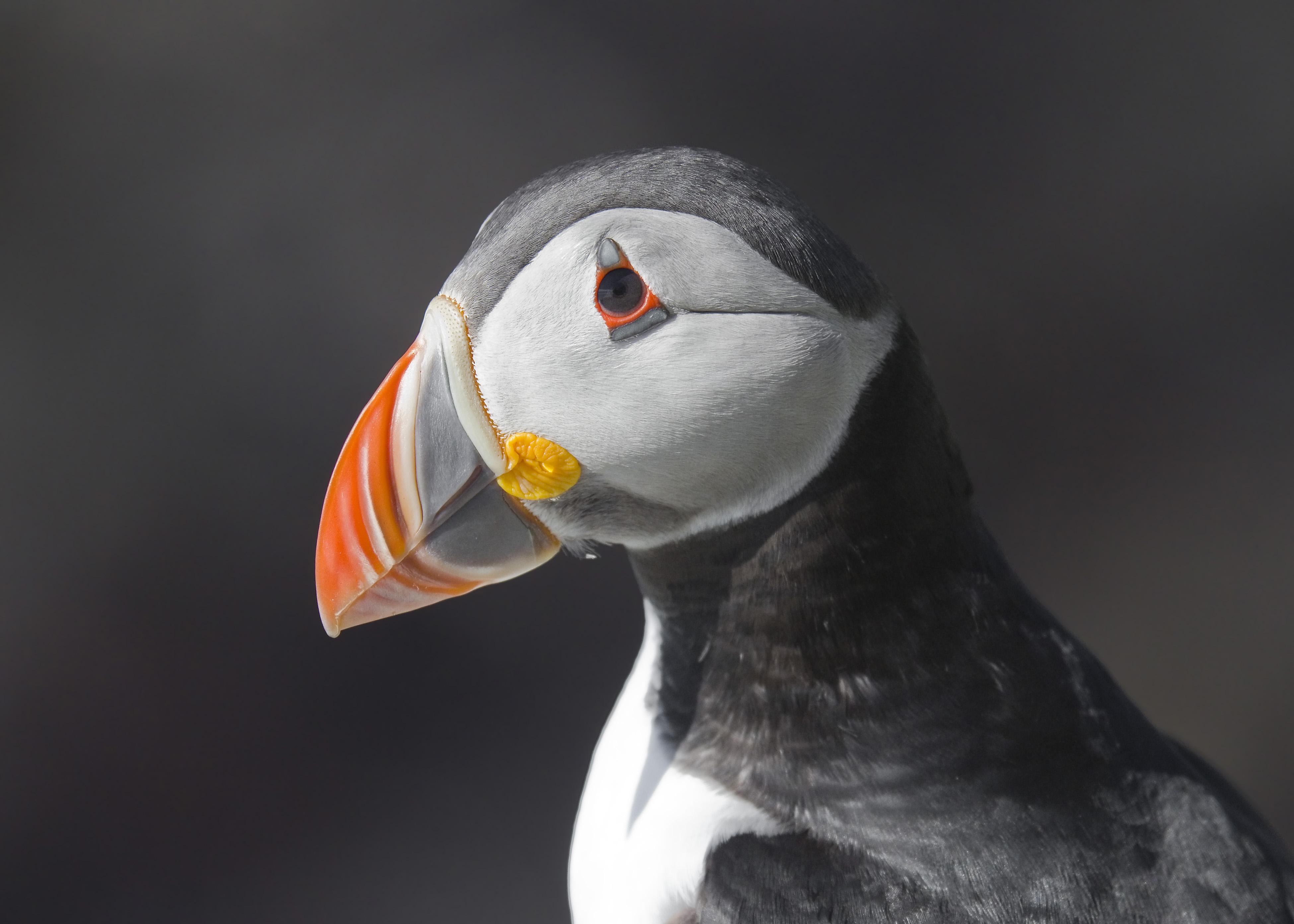 File:Atlantic Puffin Fratercula arctica.jpg - Wikimedia ...