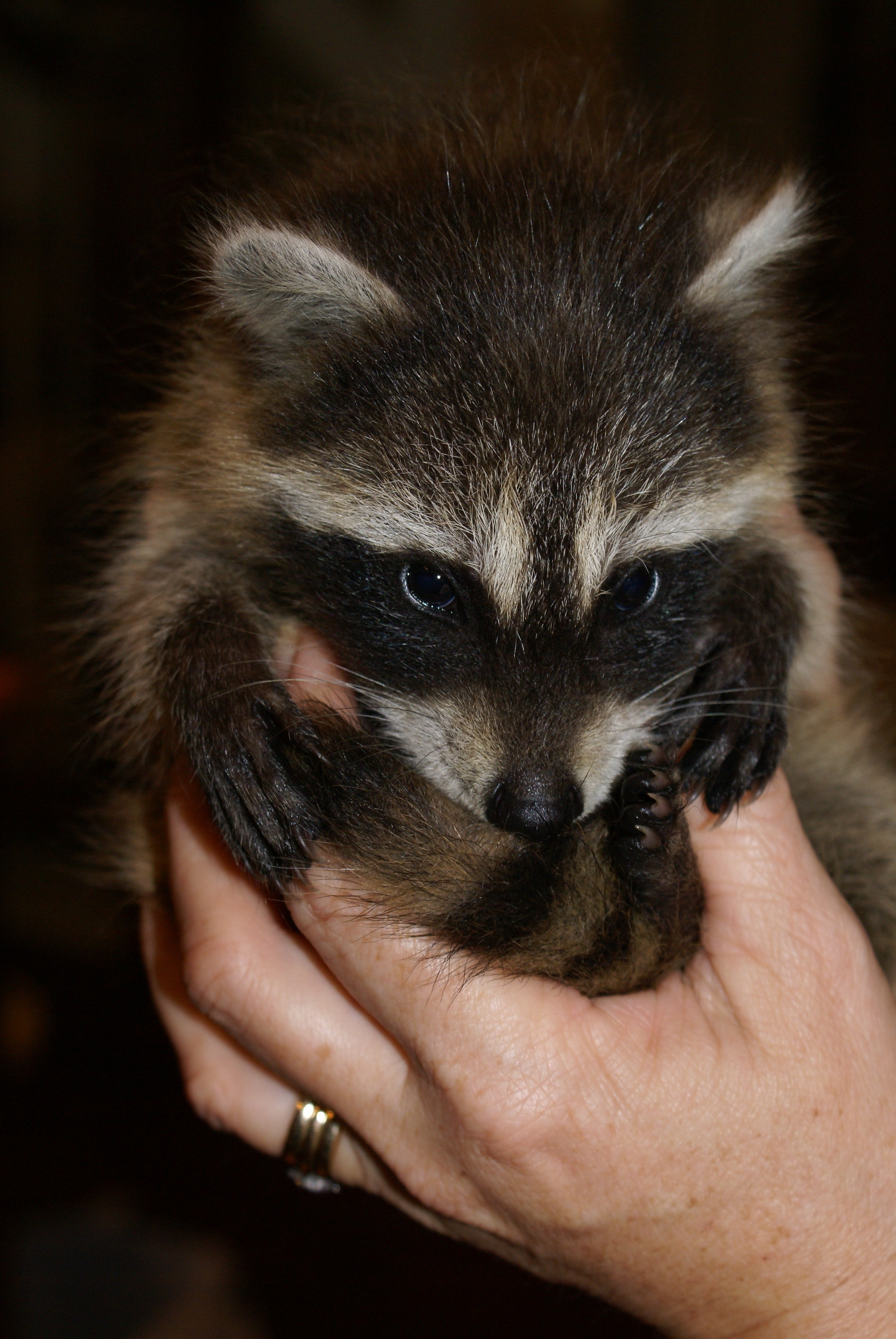 File:Baby raccoon Oct 2009.jpg - Wikimedia Commons Raccoon With Rabies