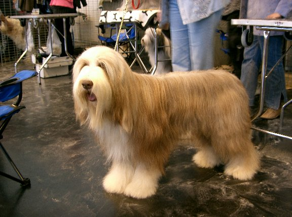 dog bearded collie