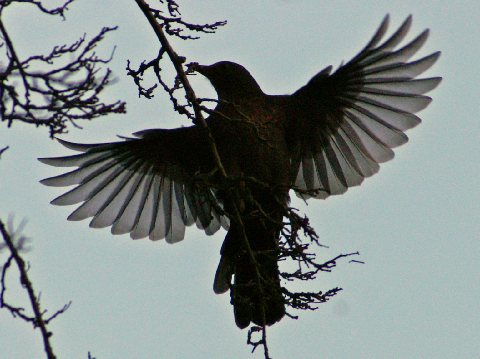 blackbirds drawing - photo #46