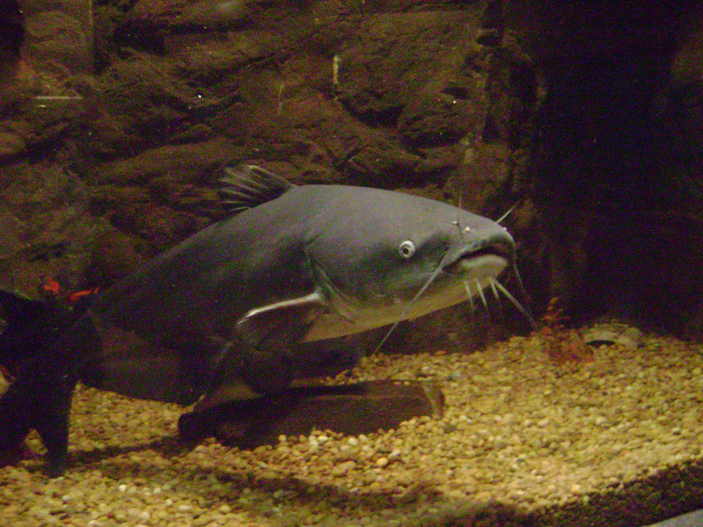 Blue_catfish.jpg