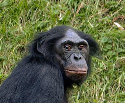 Szympans bonobo monogamia, poligamia, poliandria, poligynia