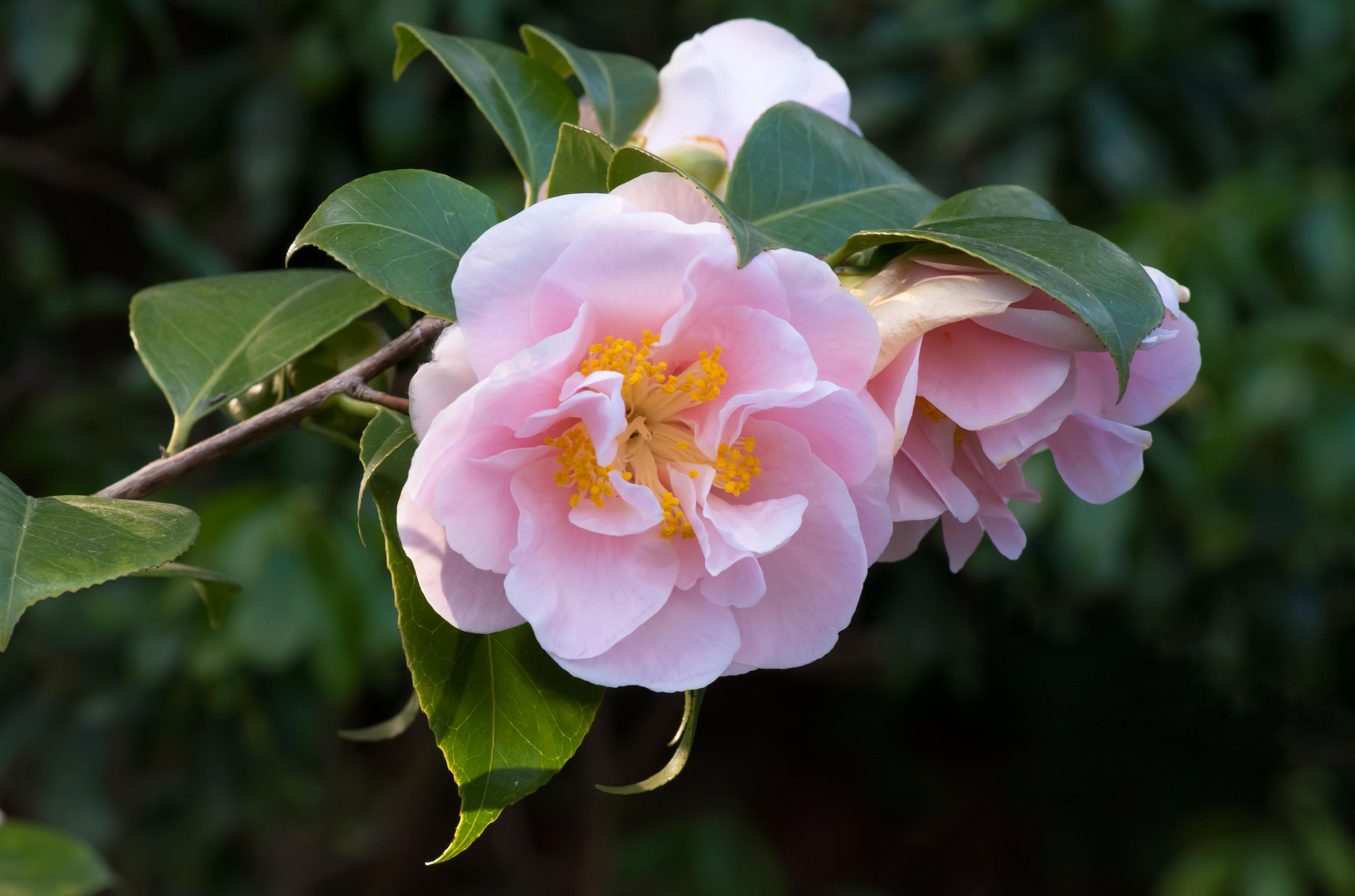 File camellia japonica jardin albert for Jardin albert kahn