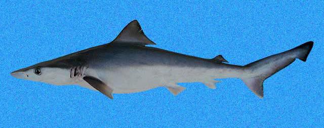 Carcharhinus porosus SI.jpg