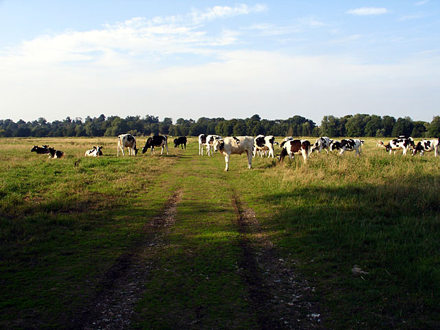 Cattle on Outney Common - geograph.org.uk - 224191