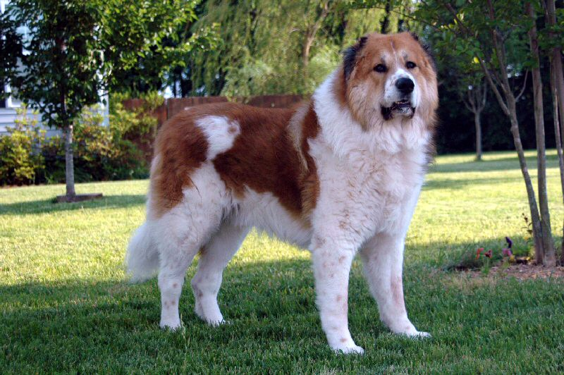 Caucasian Shepherd Dog Wikipedia