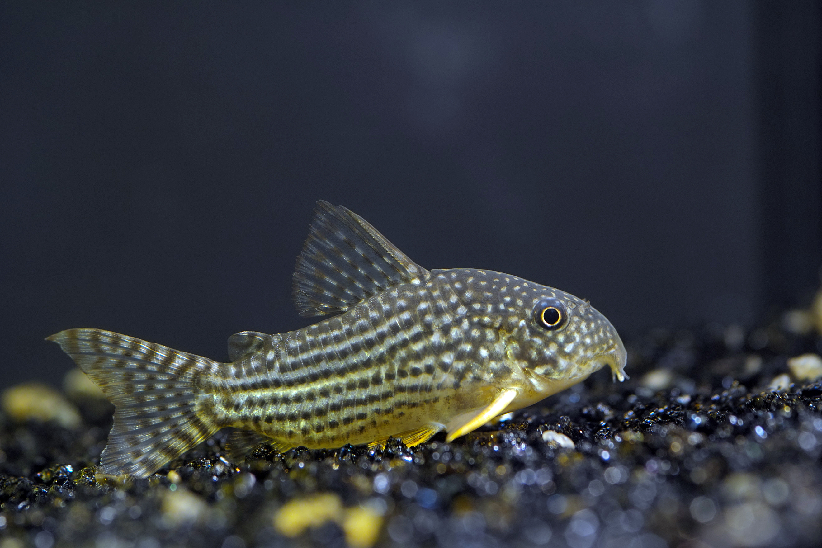 Corydoras will help to keep your goldfish tank clean