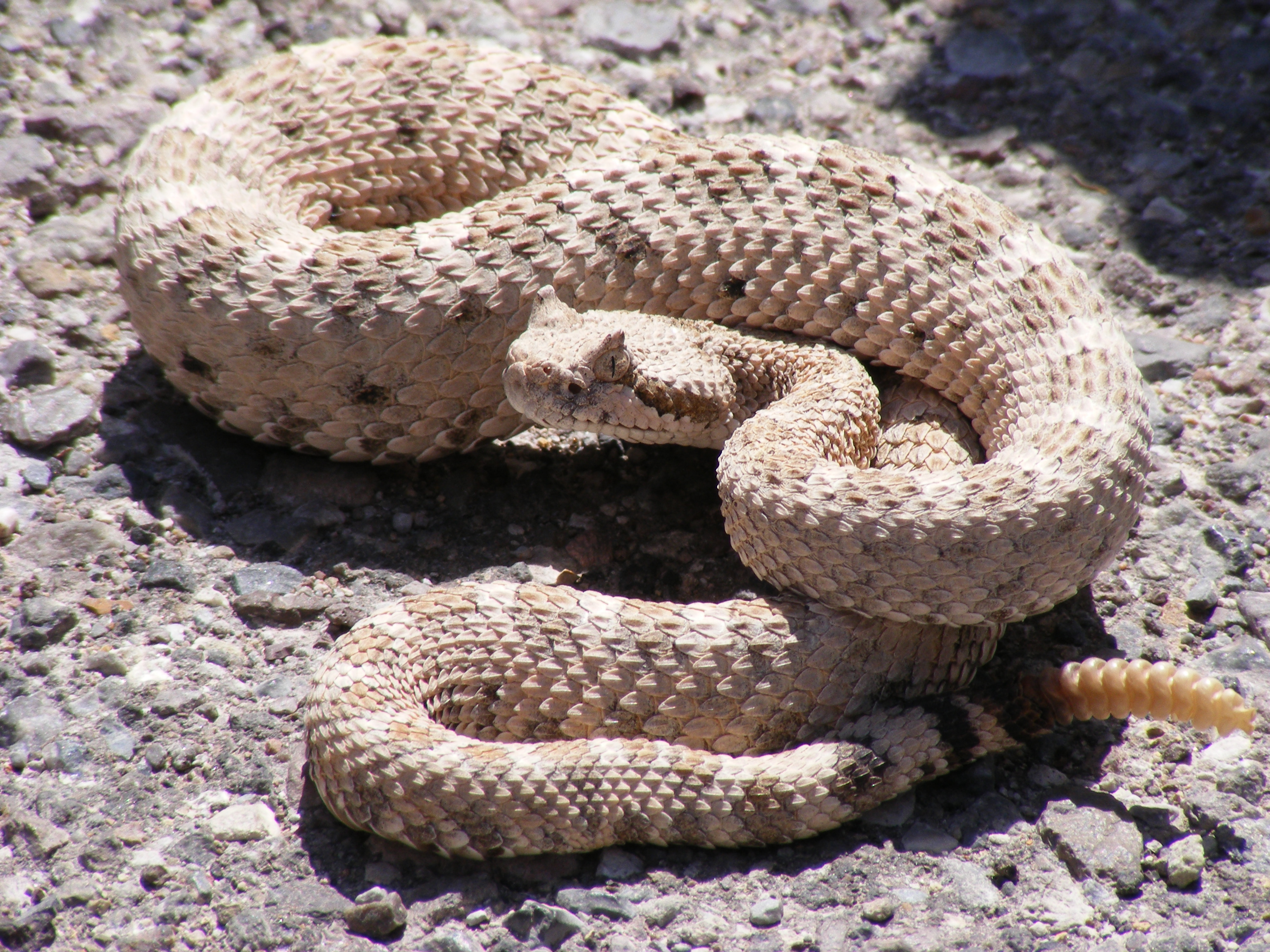 http://upload.wikimedia.org/wikipedia/commons/4/4b/Crotalus_cerastes_mesquite_springs_CA.JPG