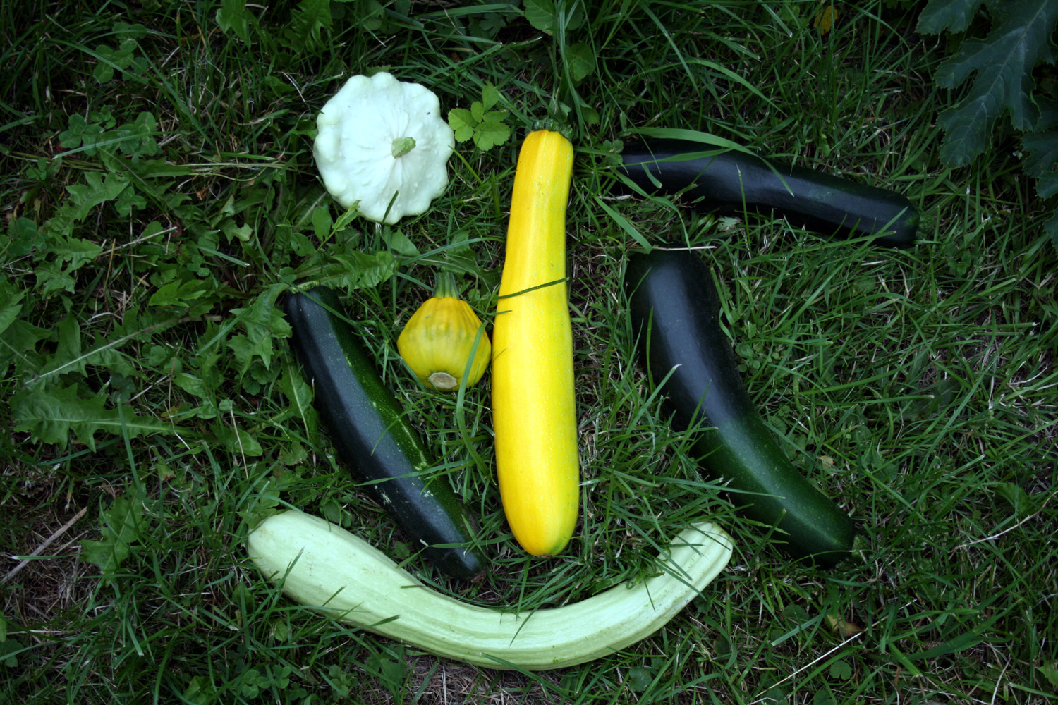 Several different kinds of zucchini and pattypan squash. Source image: Wikipedia