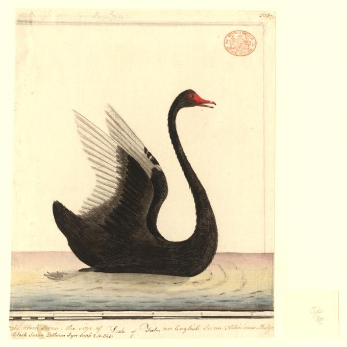 Teoría del cisne negro, origen