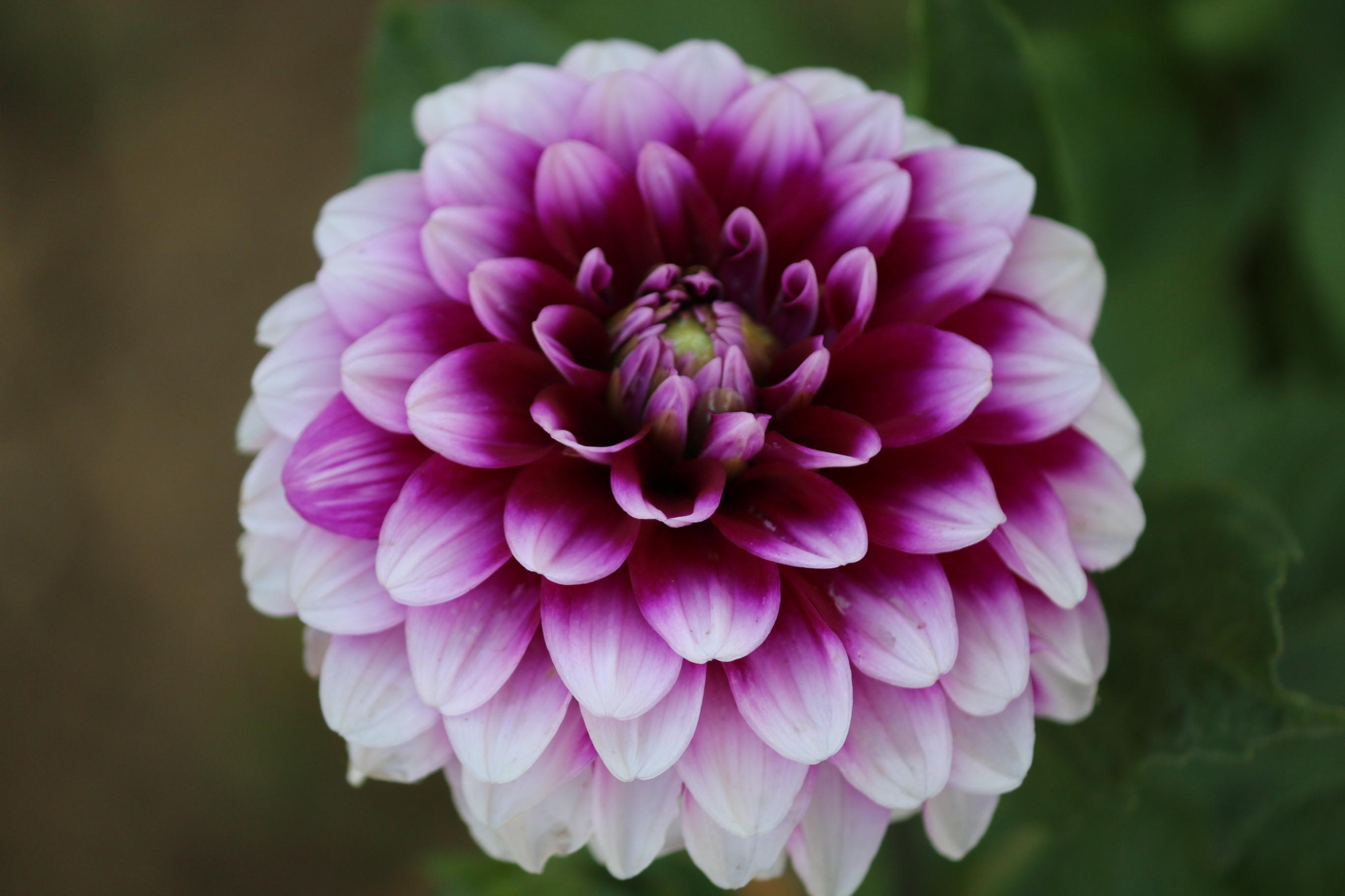 Filedahlia Flower 2016g Wikimedia Commons