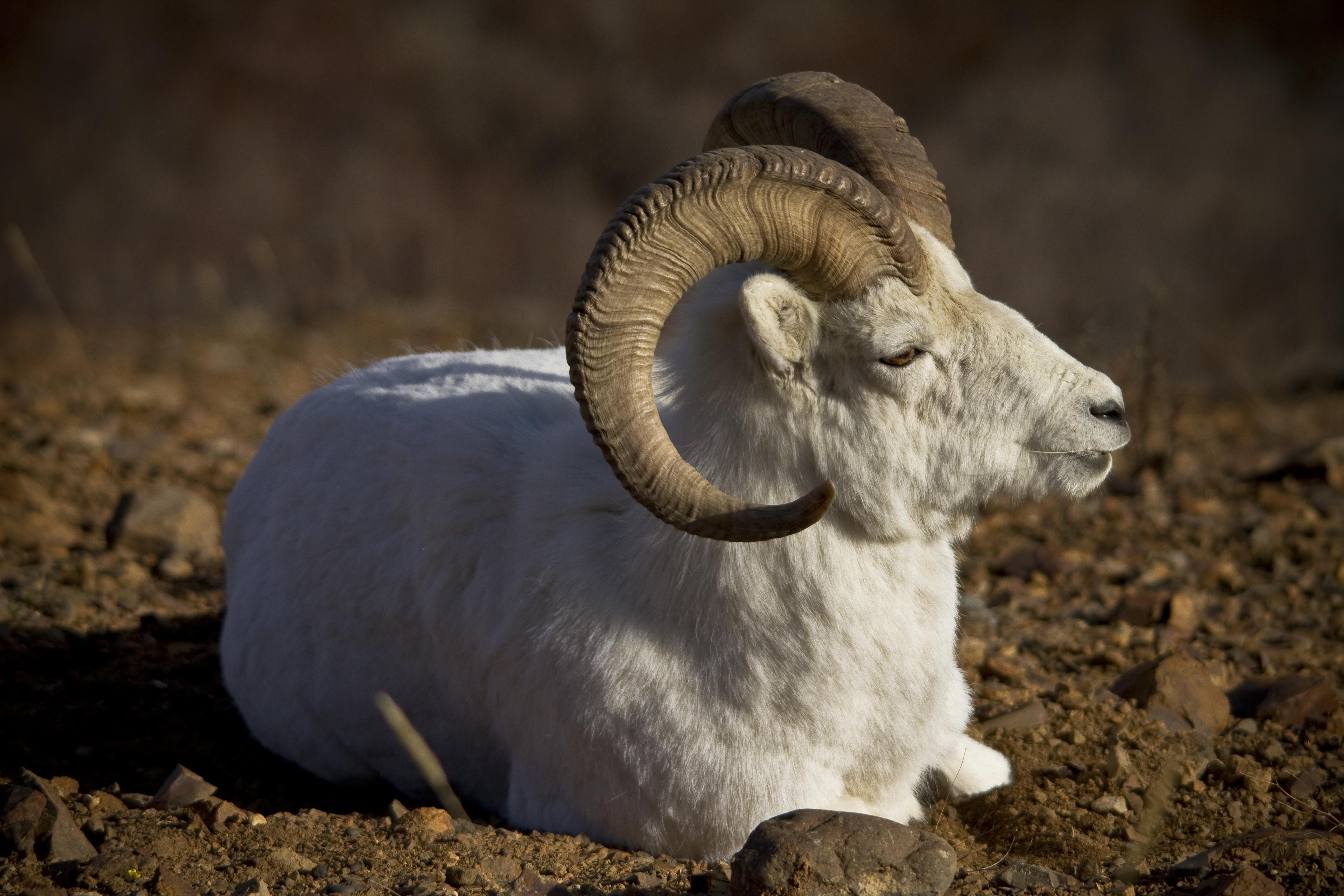 File:Dall Sheep Profile (7956344192).jpg - Wikimedia Commons