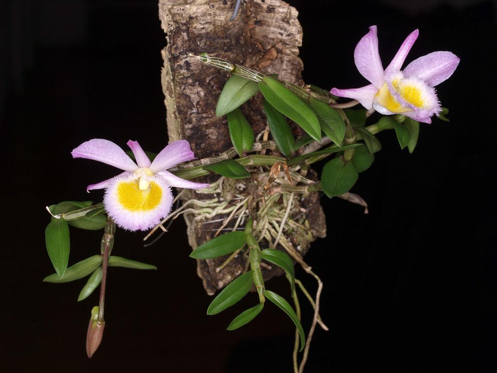 File Dendrobium Loddigesii Flickr 004 Jpg Wikimedia