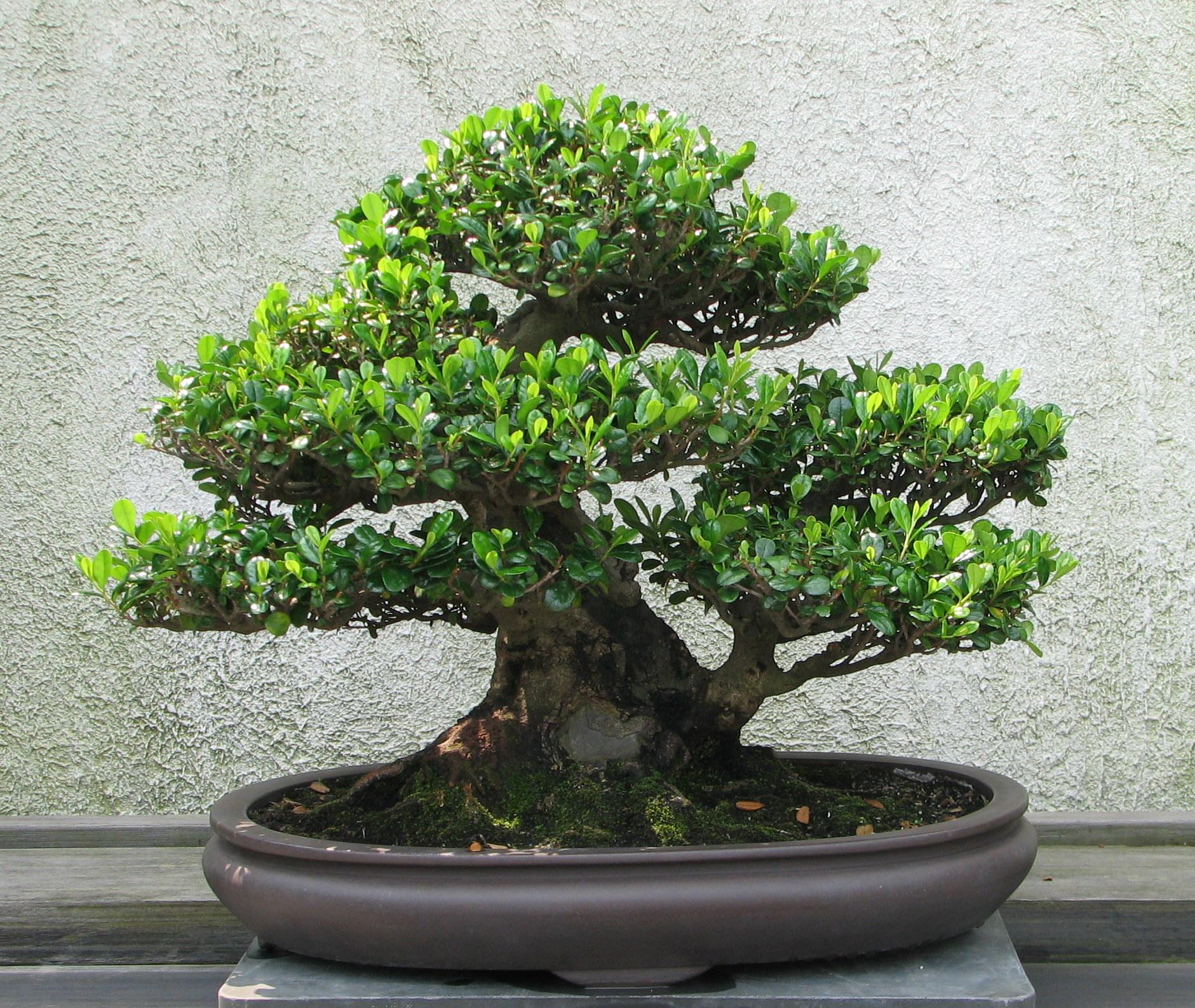 File eurya 1970 wikipedia for Bonsai de jardin