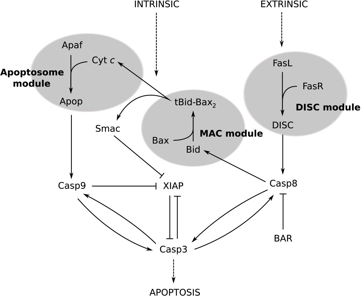 File Extrinsic And Intrinsic Pathways To Caspase 3