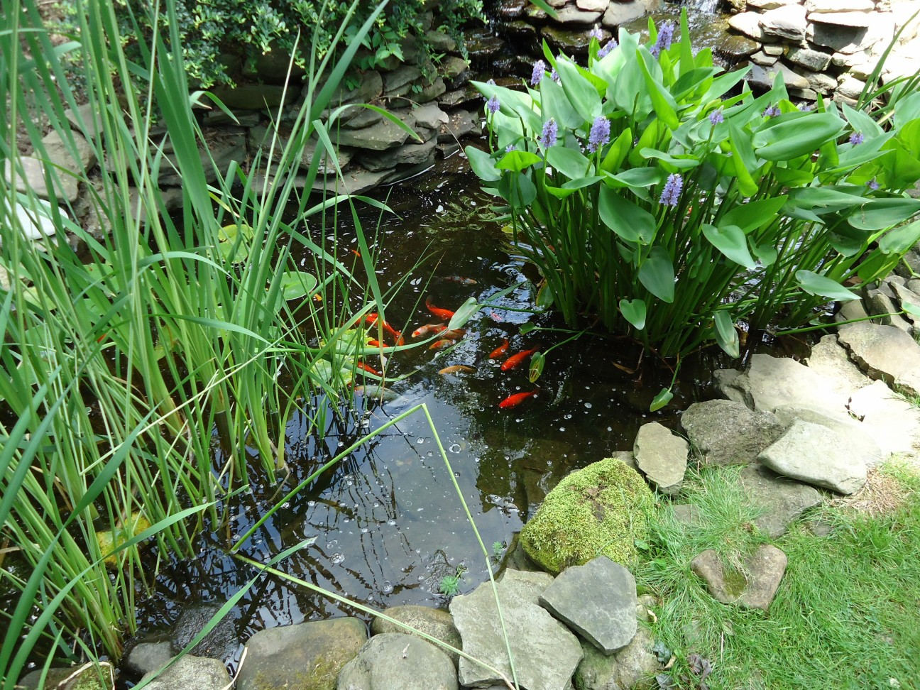 File fish in an outdoor pond in a wikimedia for Backyard pond plants and fish