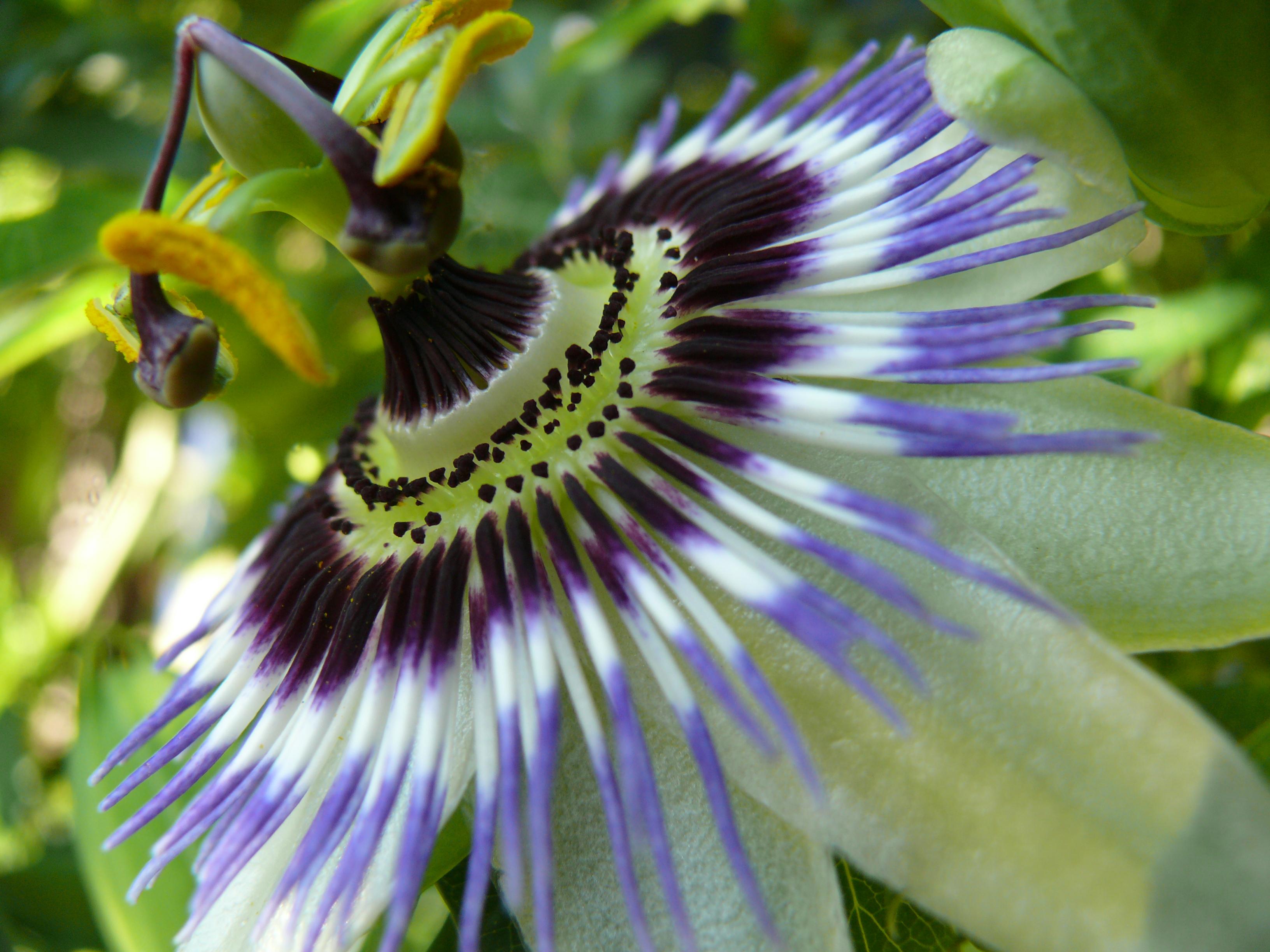 File:Fleur de passiflore.jpg - Wikimedia Commons
