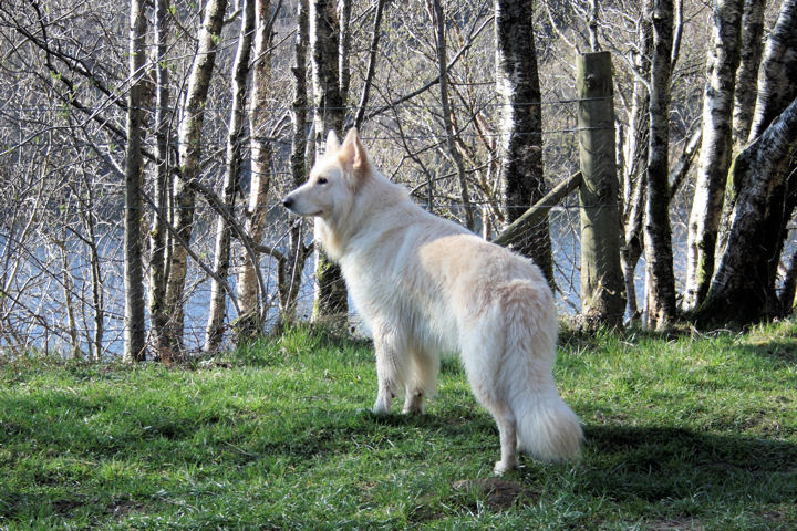 File:German Shepherd dog long-haired white.jpg