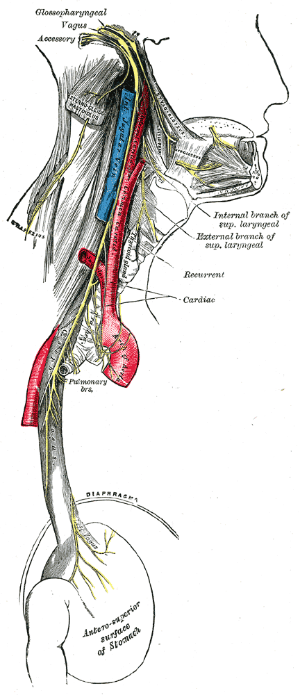 Pulmonary Branches Of Vagus Nerve Wikipedia