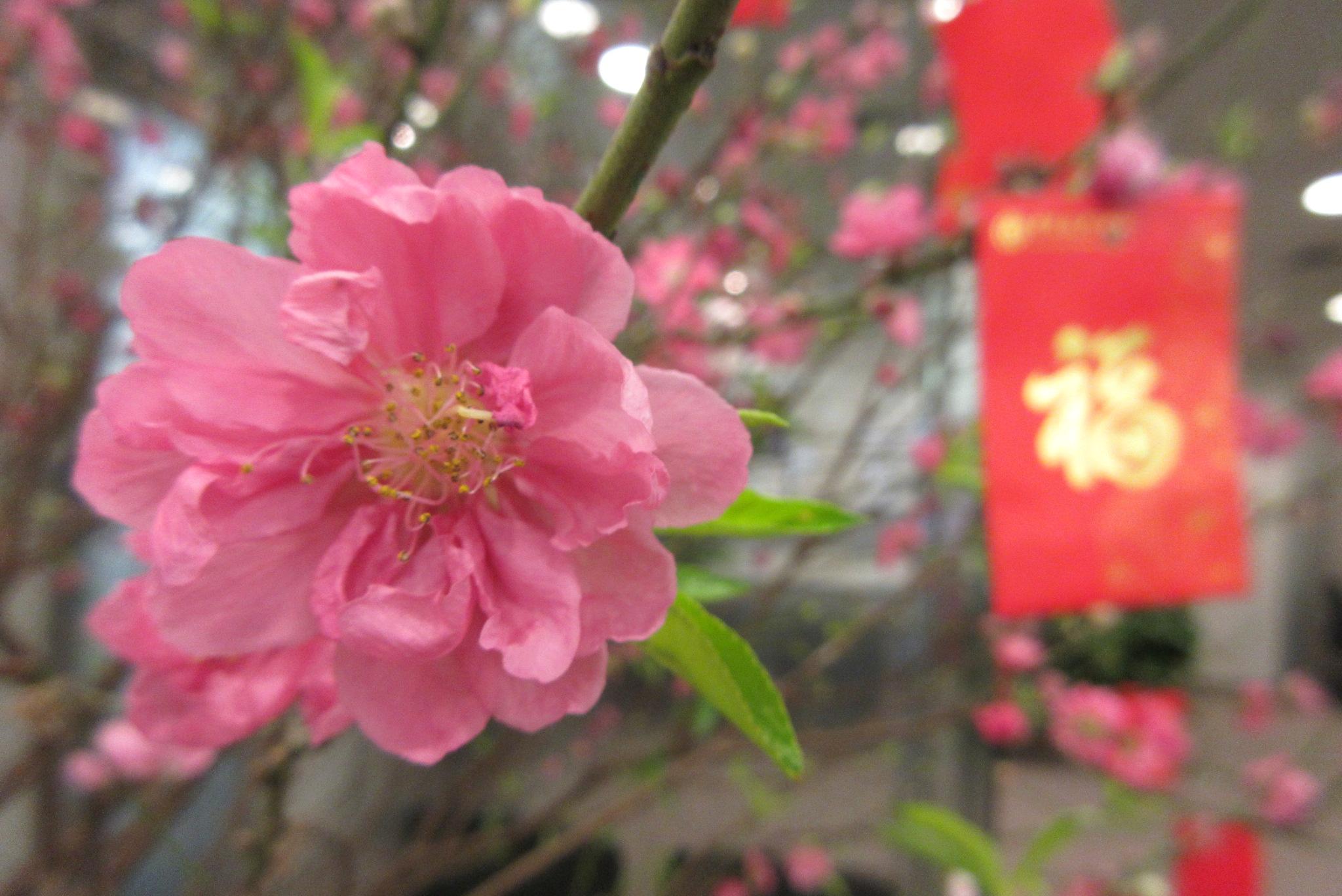 Filehk Sheung Wan Bank Of China Prunus Persica