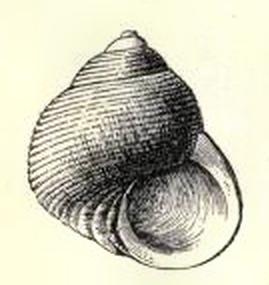 <i>Haplocochlias</i> genus of molluscs