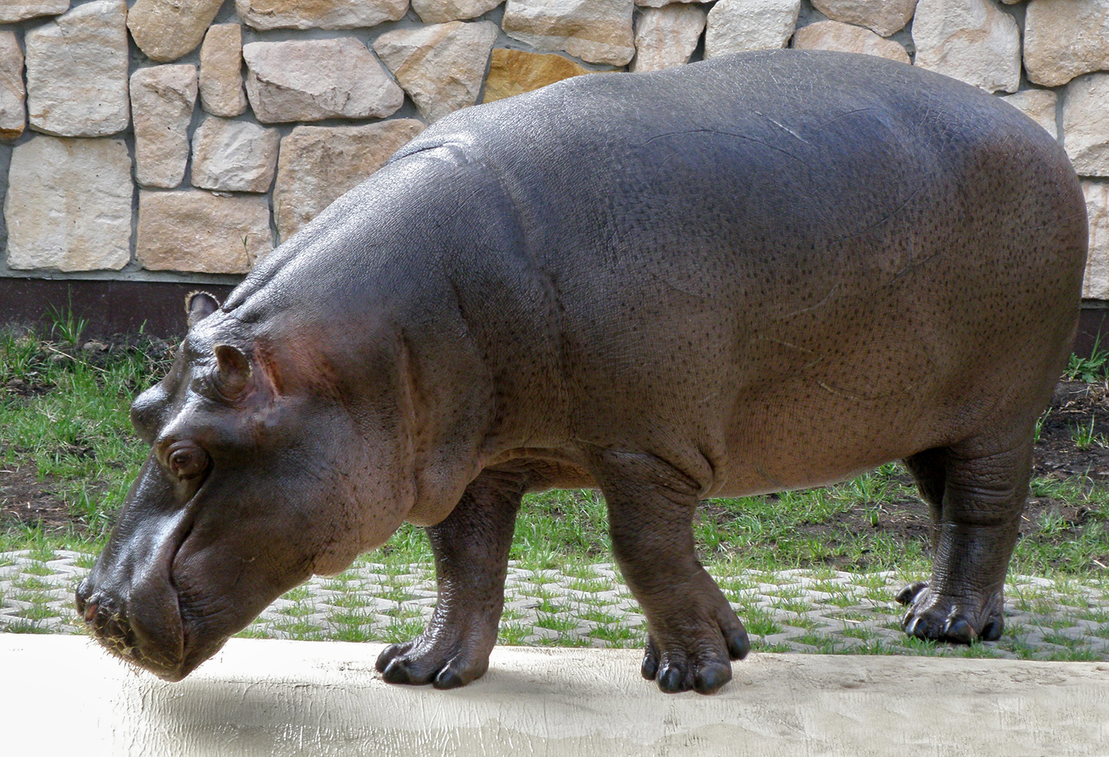 http://upload.wikimedia.org/wikipedia/commons/4/4b/Hipopotam_-_Warszawski_Ogrod_Zoologiczny.JPG