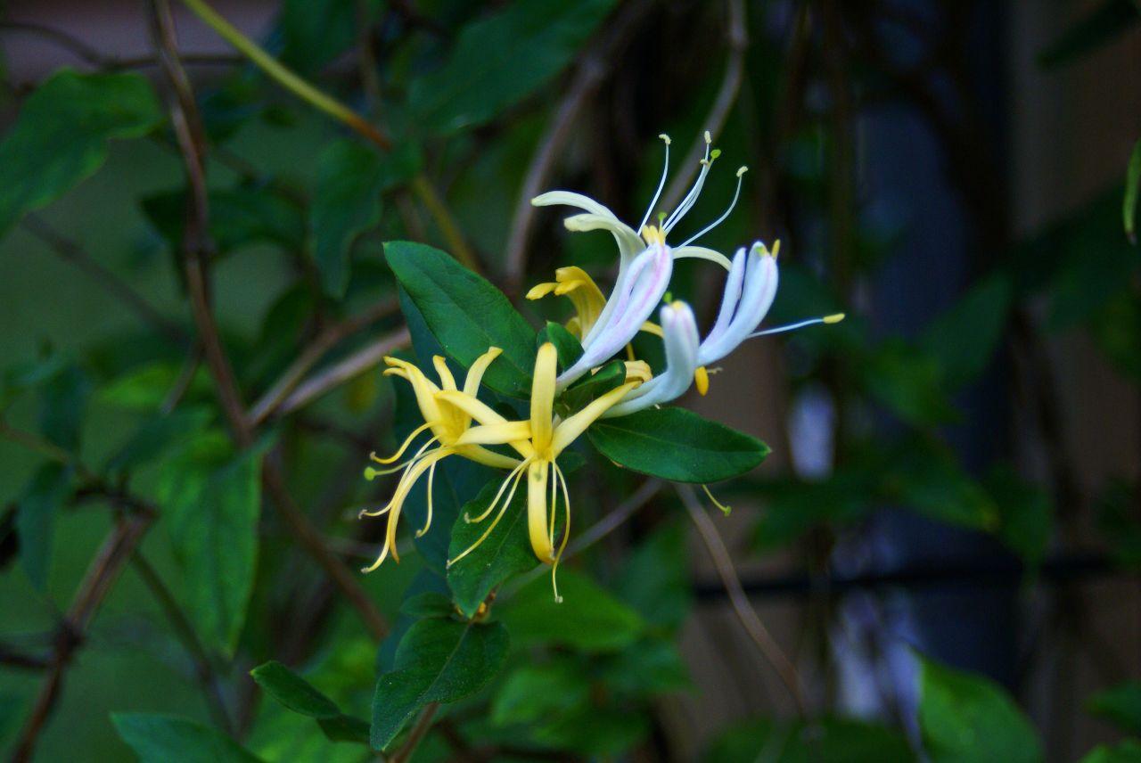 File Honeysuckle flowers Wikimedia mons