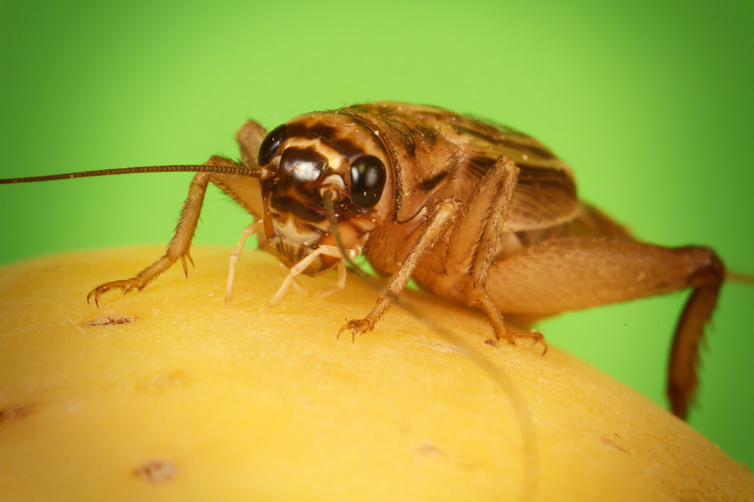 House_cricket_cvrcek_domaci.jpg