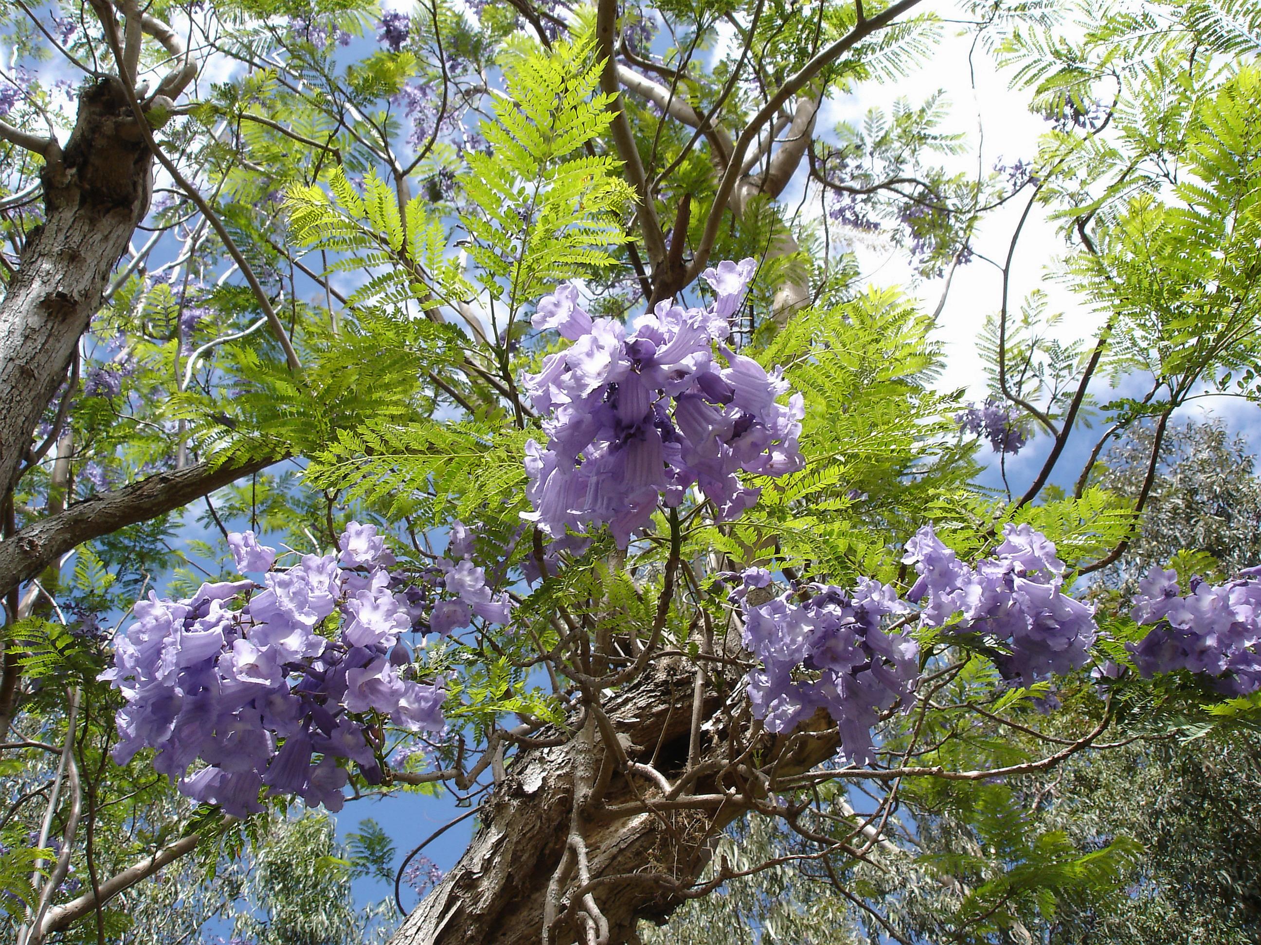 Palisanderholzbaum  File:Jacaranda-mimosifolia-Mascarin.jpg - Wikimedia Commons