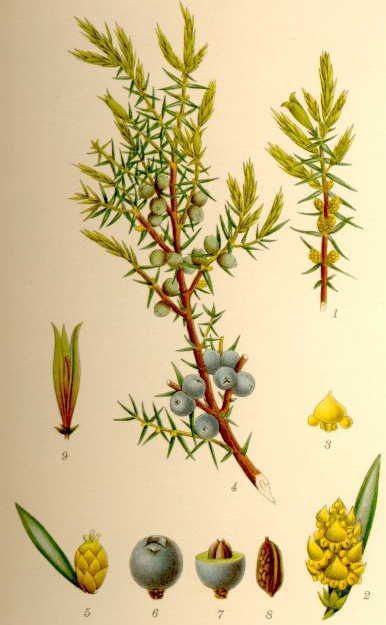 http://upload.wikimedia.org/wikipedia/commons/4/4b/Juniperus_communis_en.jpg