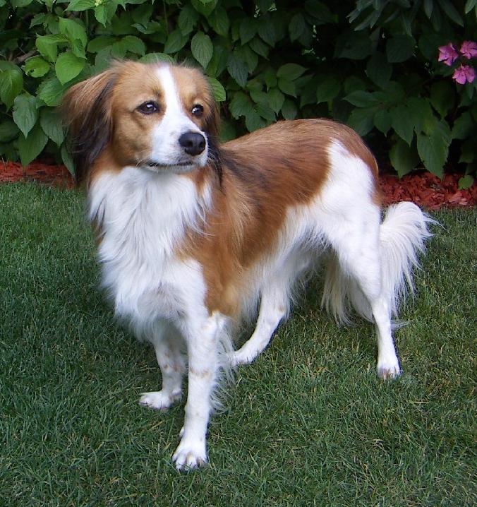 Kooikerhund – Wikipedia