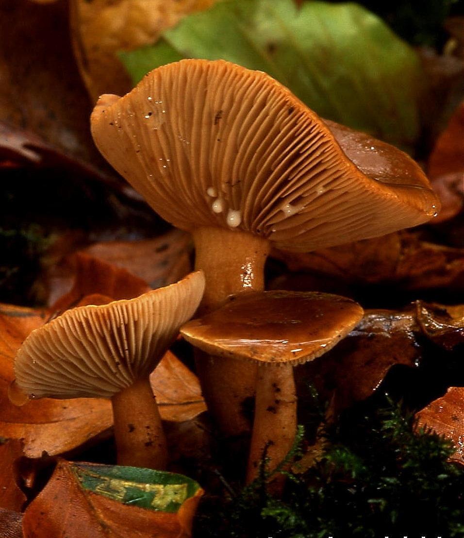 Lamella  Mycology