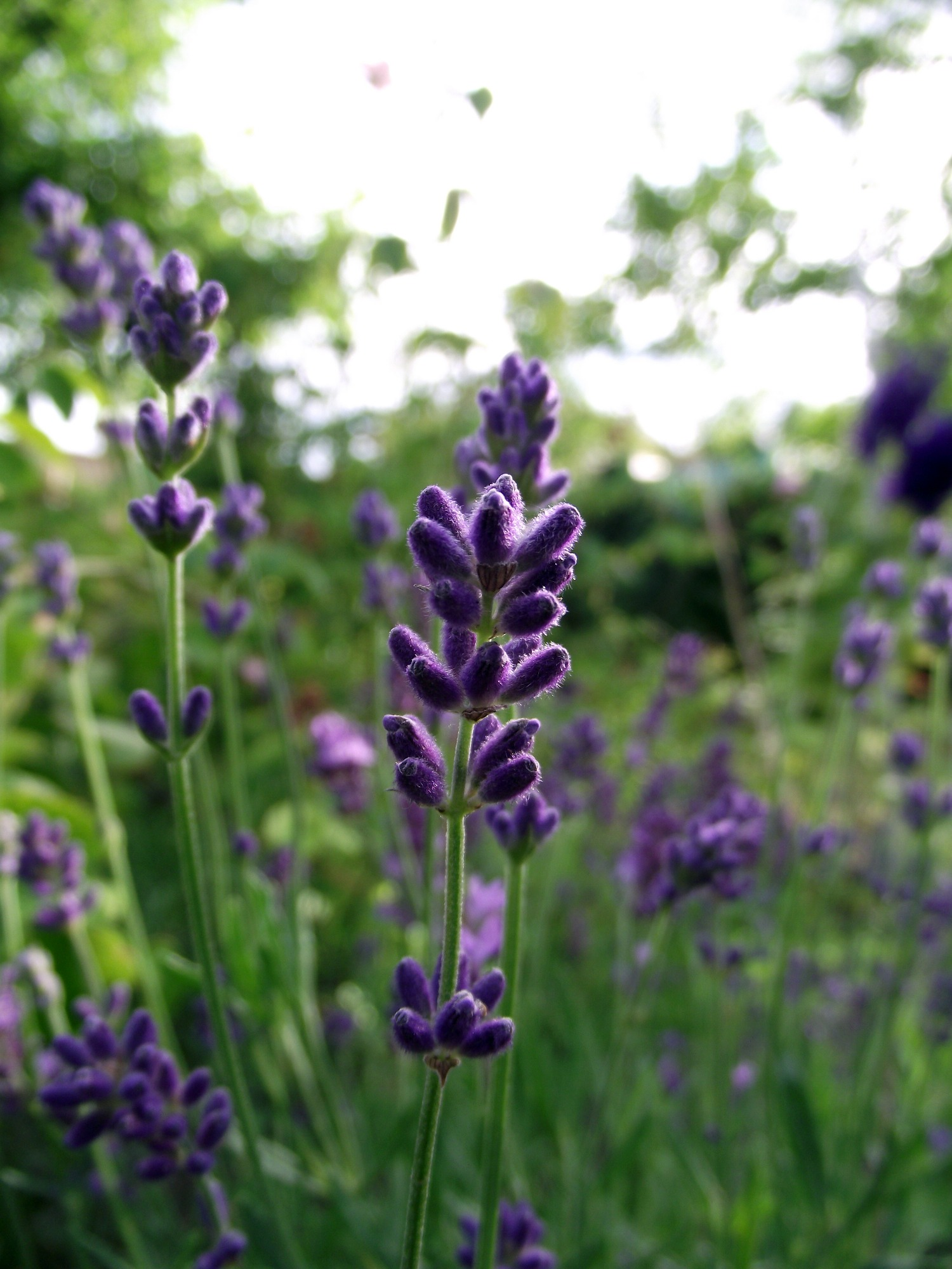 the herb gardener understand the different types of lavender, Natural flower