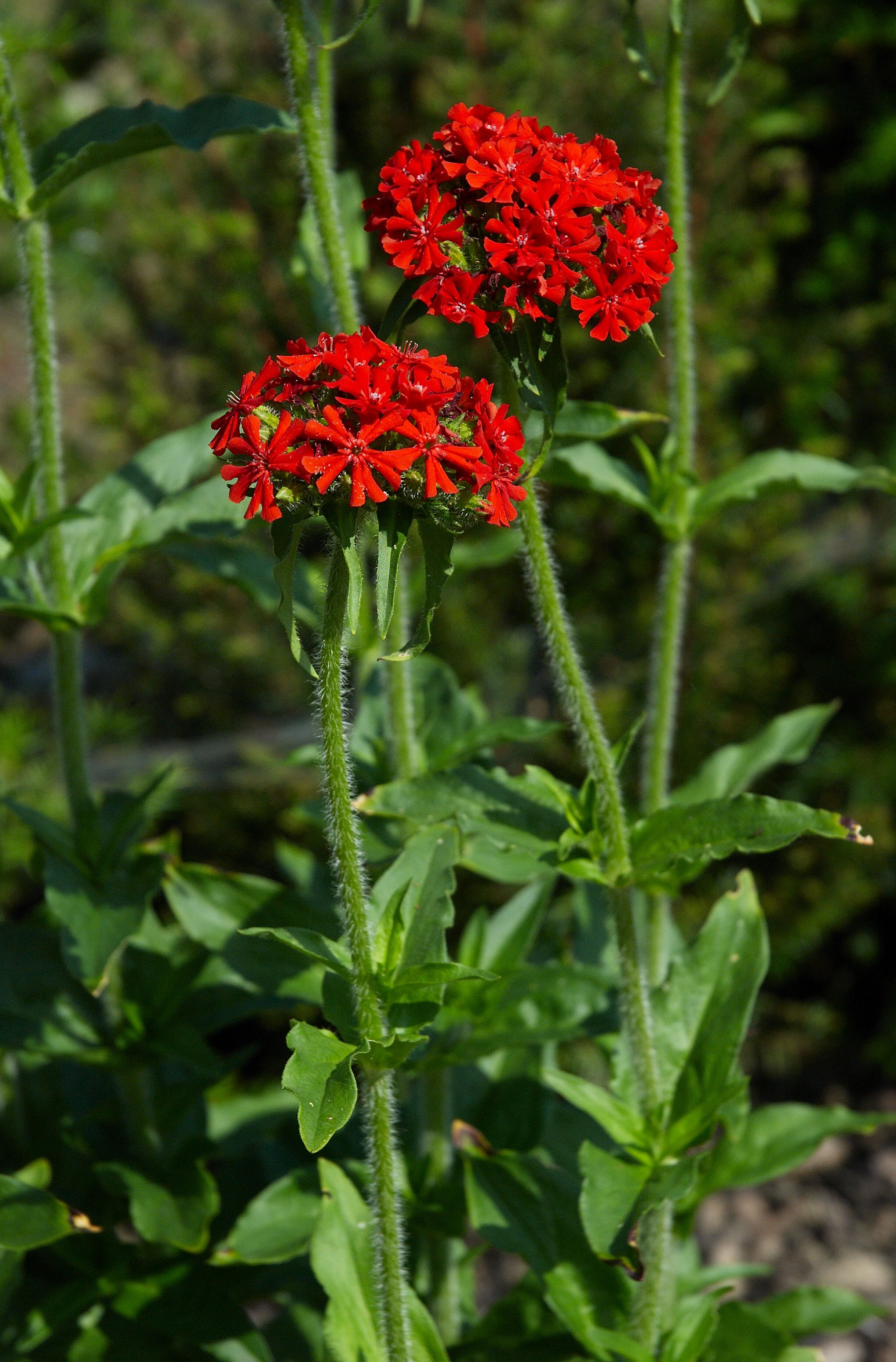 https://upload.wikimedia.org/wikipedia/commons/4/4b/Lychnis_chalcedonica_B.jpg