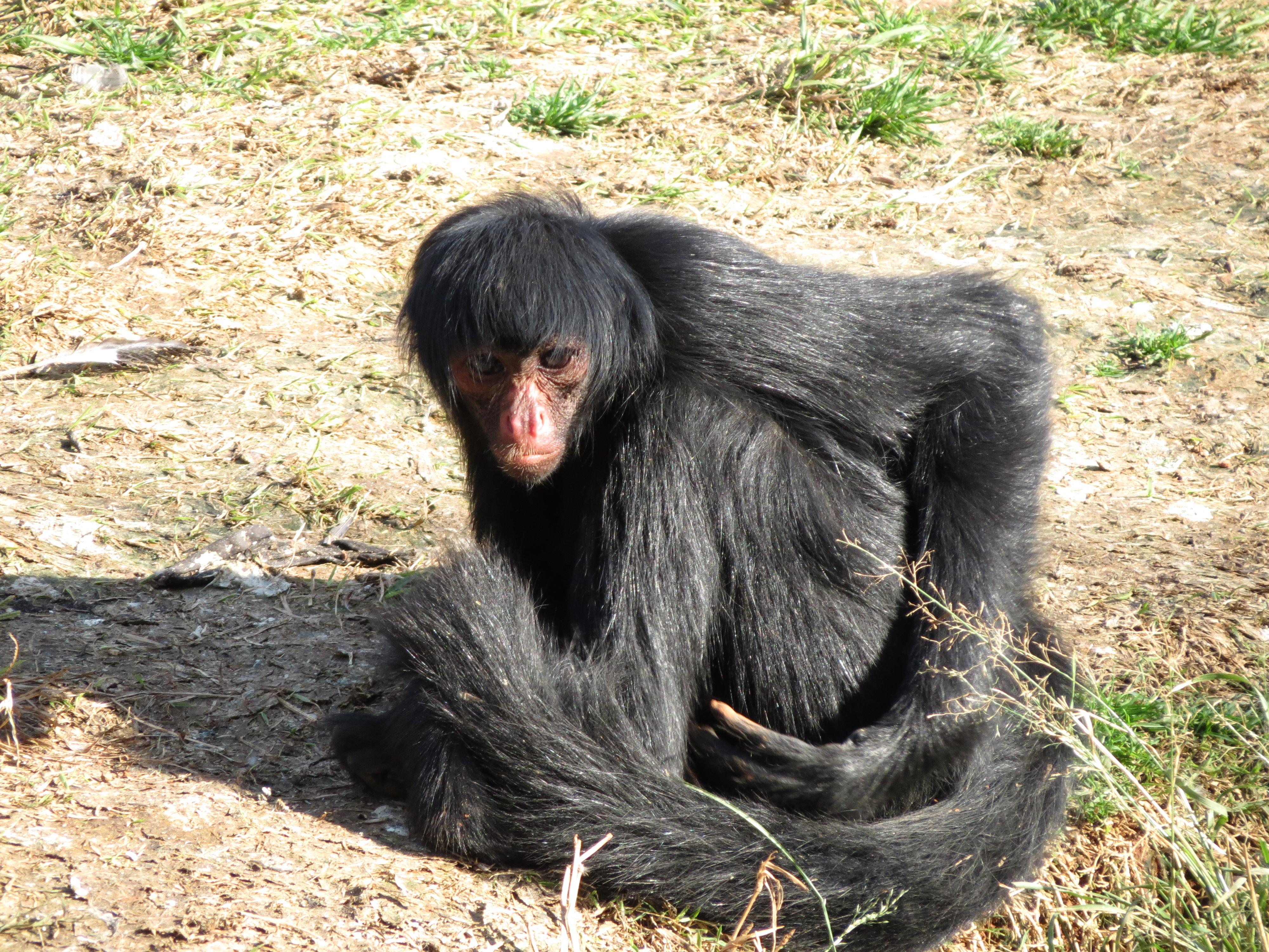 Description Macaco-aranha-cara-vermelha.jpg