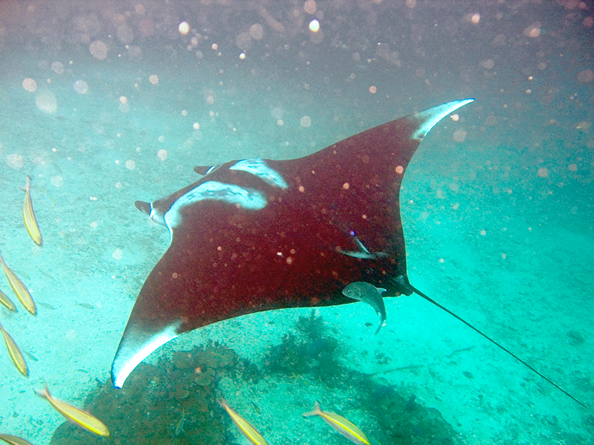 http://upload.wikimedia.org/wikipedia/commons/4/4b/Manta_birostris-Thailand3.jpg