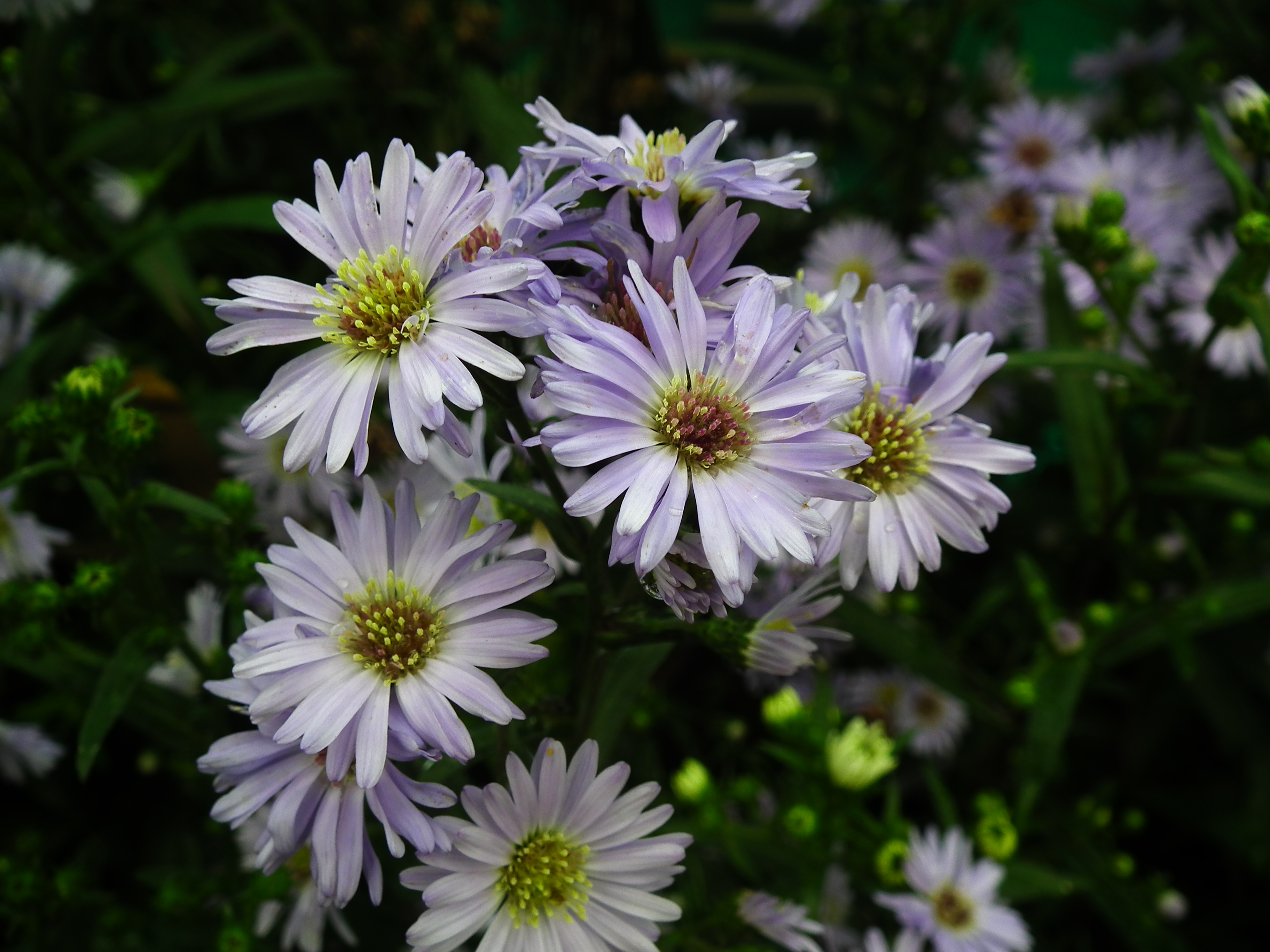 File:Michaelmas daisy or Aster amellus from Lalbagh