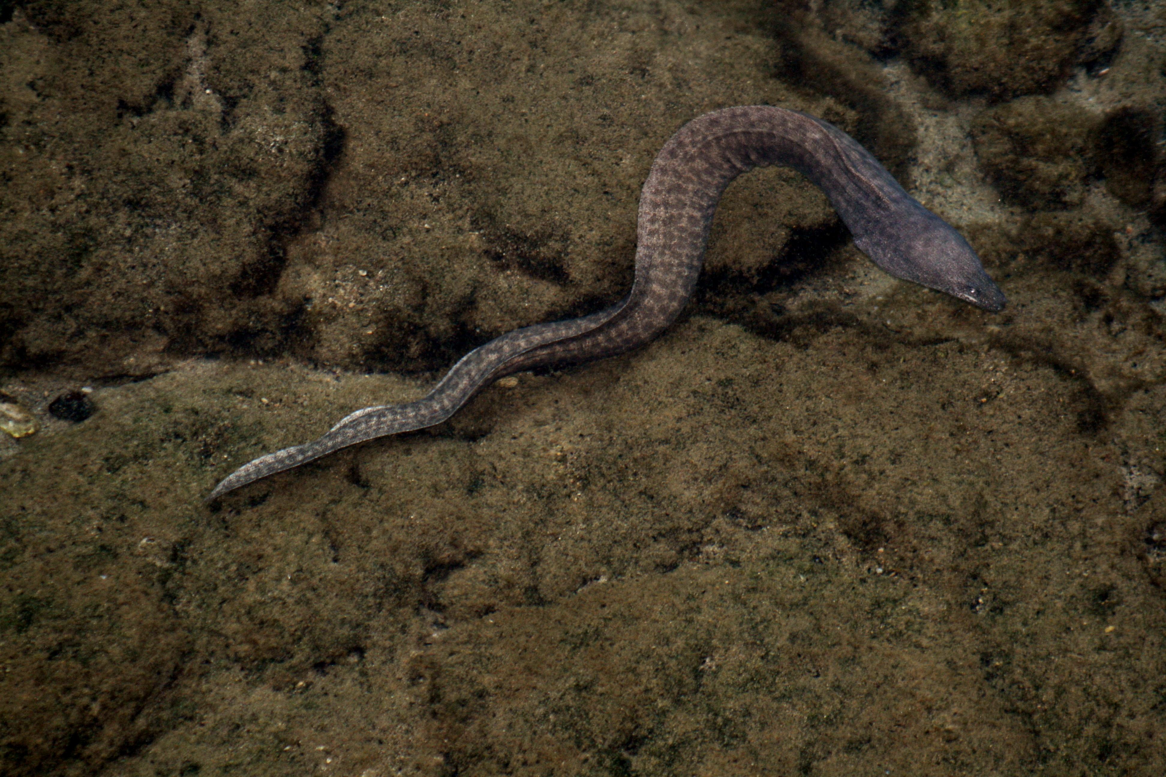 Moray eel - Wikiwand