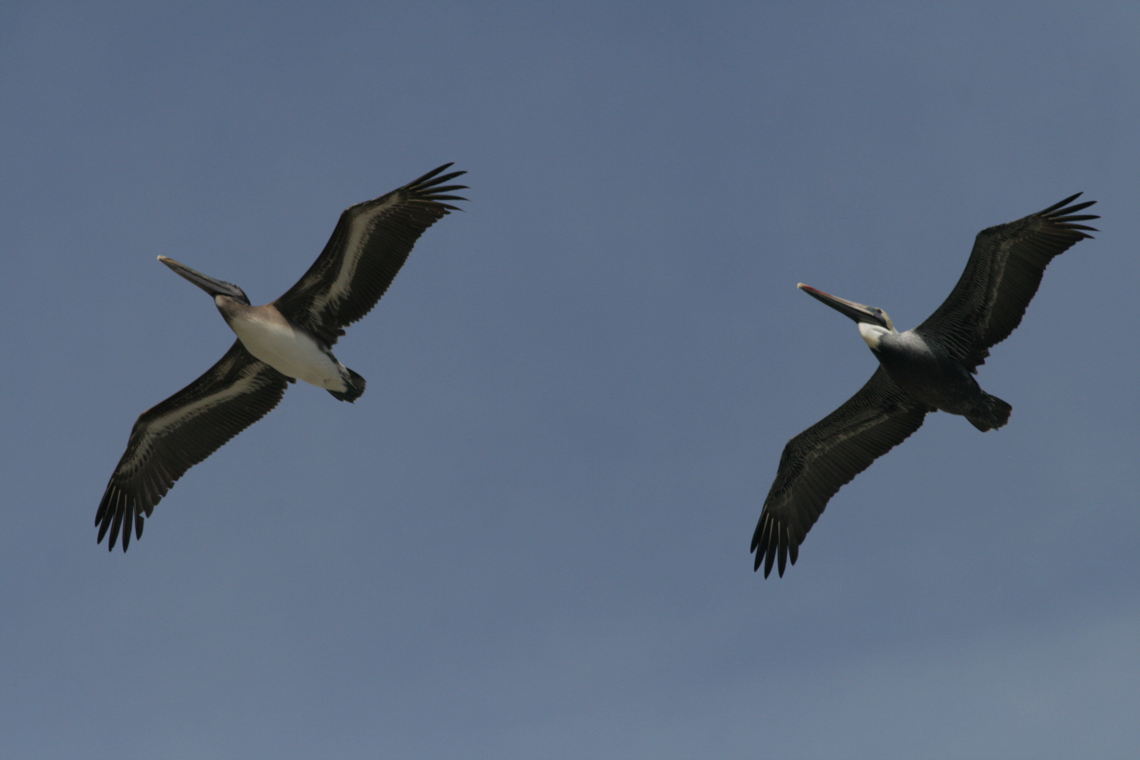 Types Of Pelicans On Apollo Beach Fl