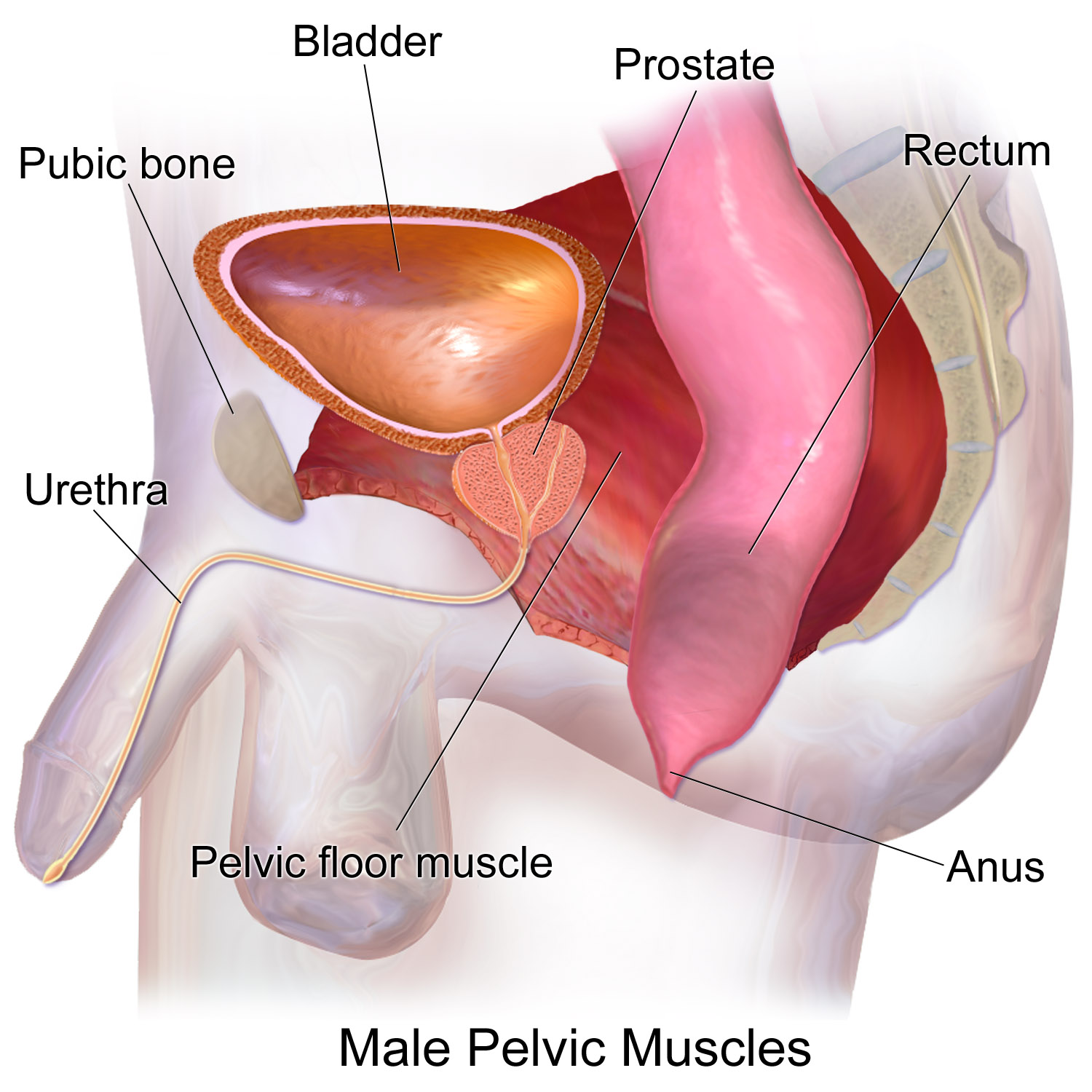 Filepelvic Muscles Male Sideg Wikimedia Commons