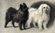 File:Pomeranian and Maltese Portrait.jpg