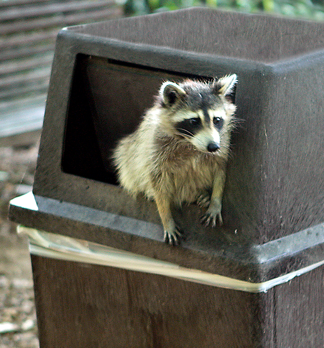 Image result for garbage man racoon