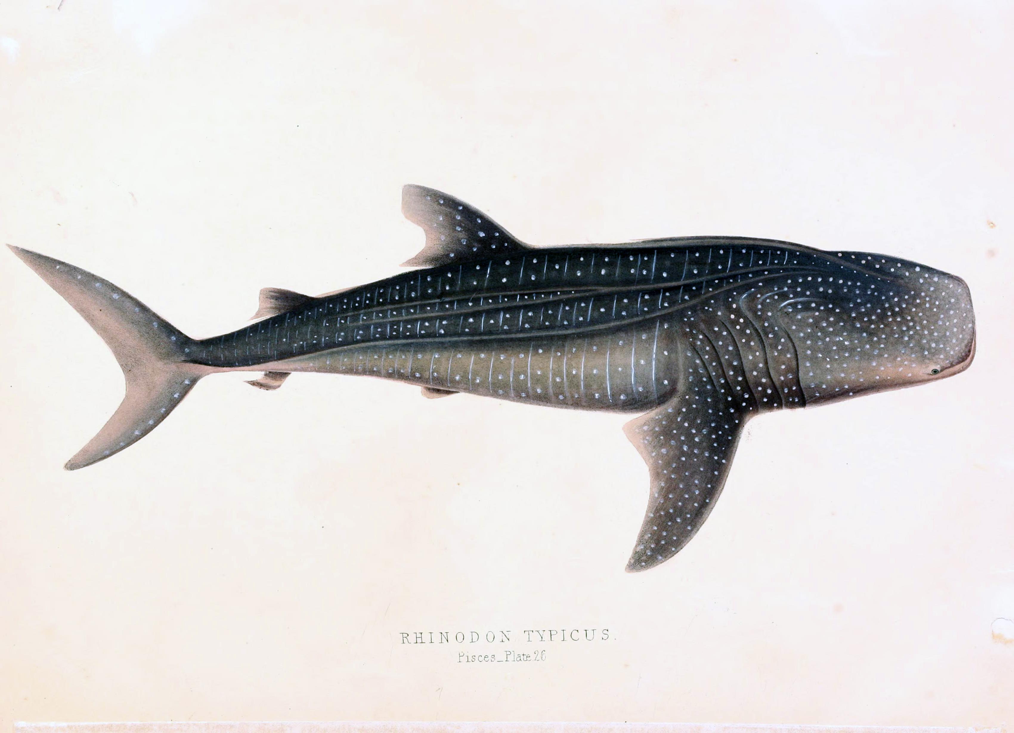 File rhinodon wikimedia commons - Requin baleine dessin ...