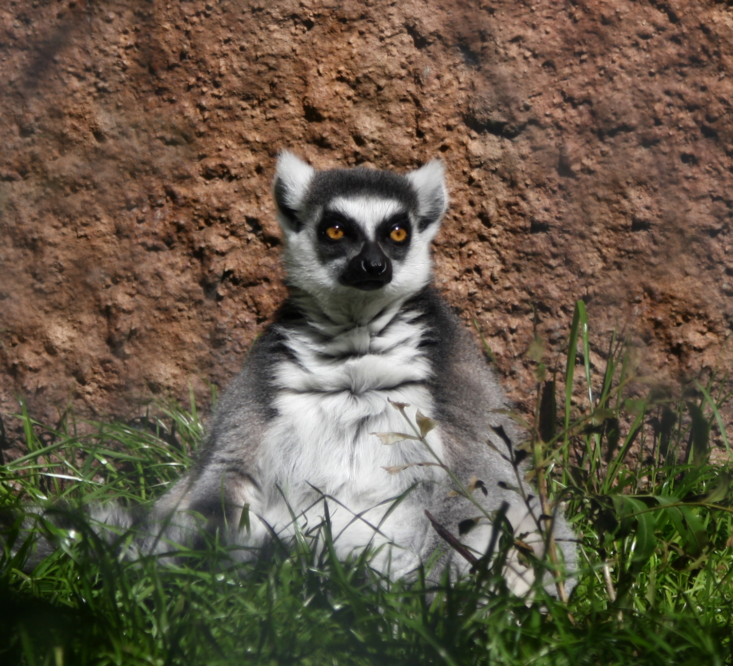 Ring Tailed Lemur Behavioral Adaptations