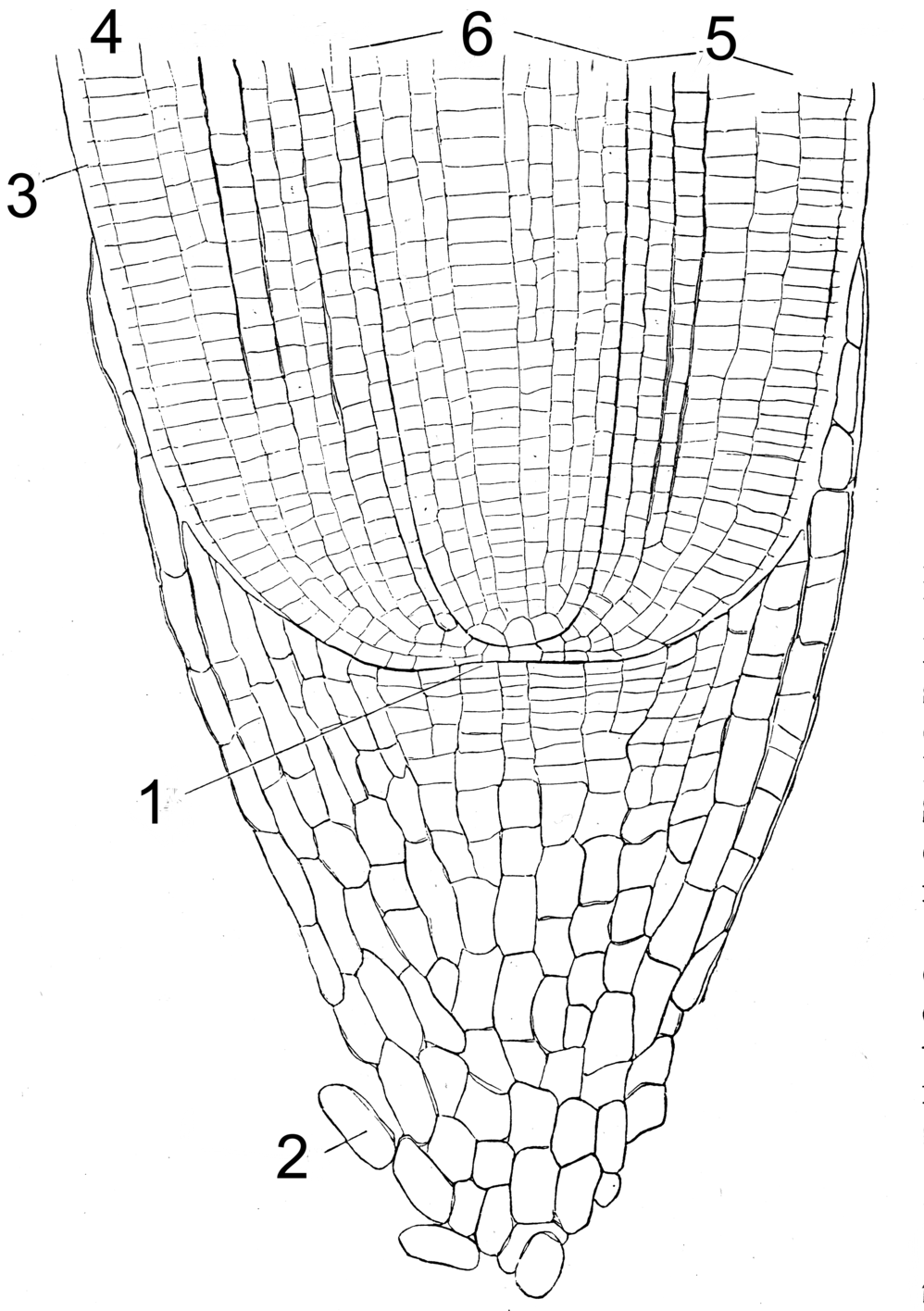 File:Root Tip Anatomy.png - Wikimedia Commons