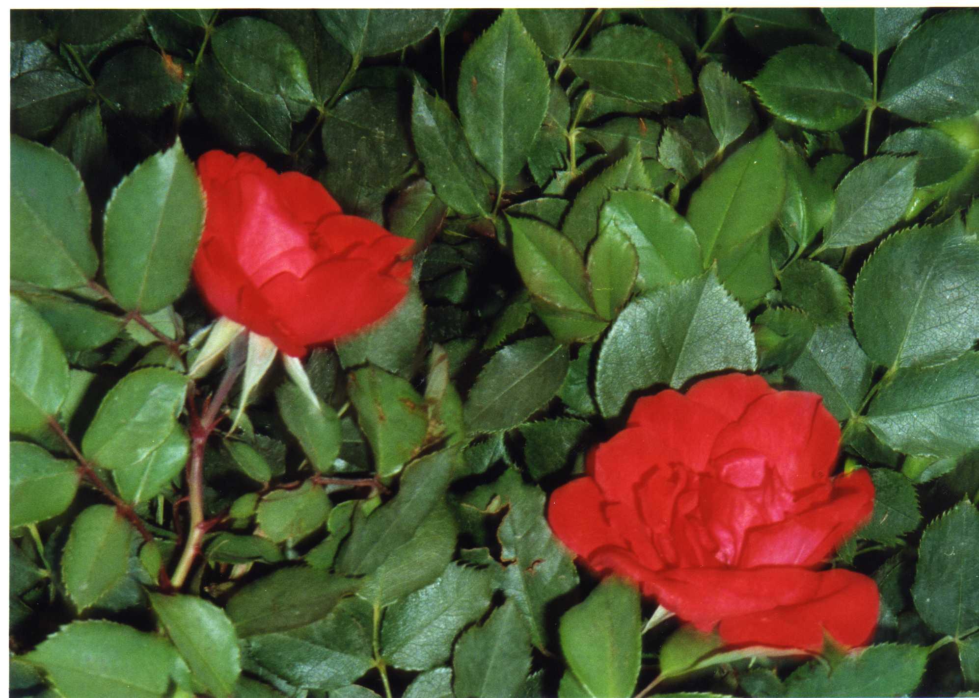 File:Rosas rojas.jpg - Wikimedia Commons