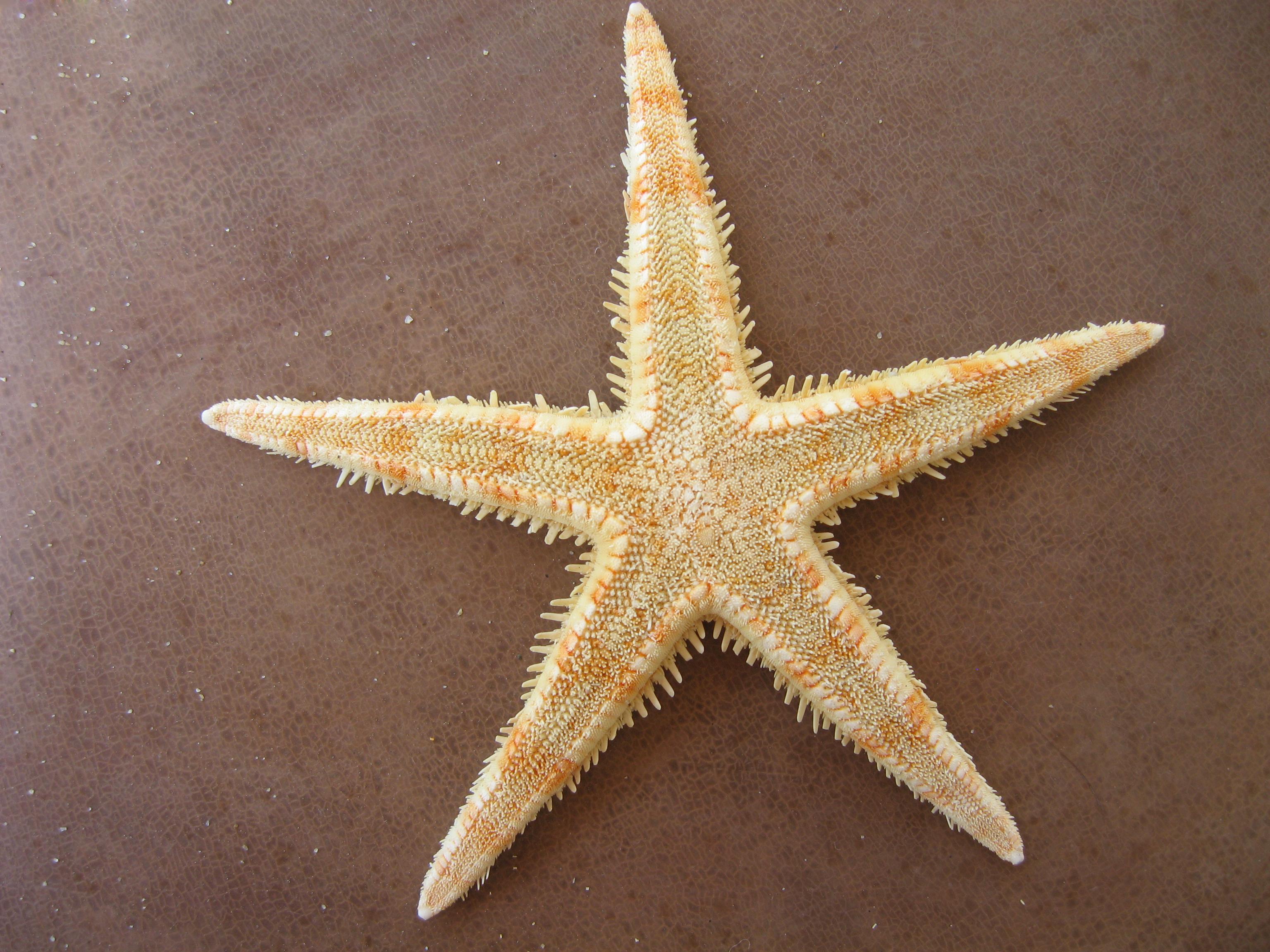 File:Sea star bg 01.jpg - Wikimedia Commons