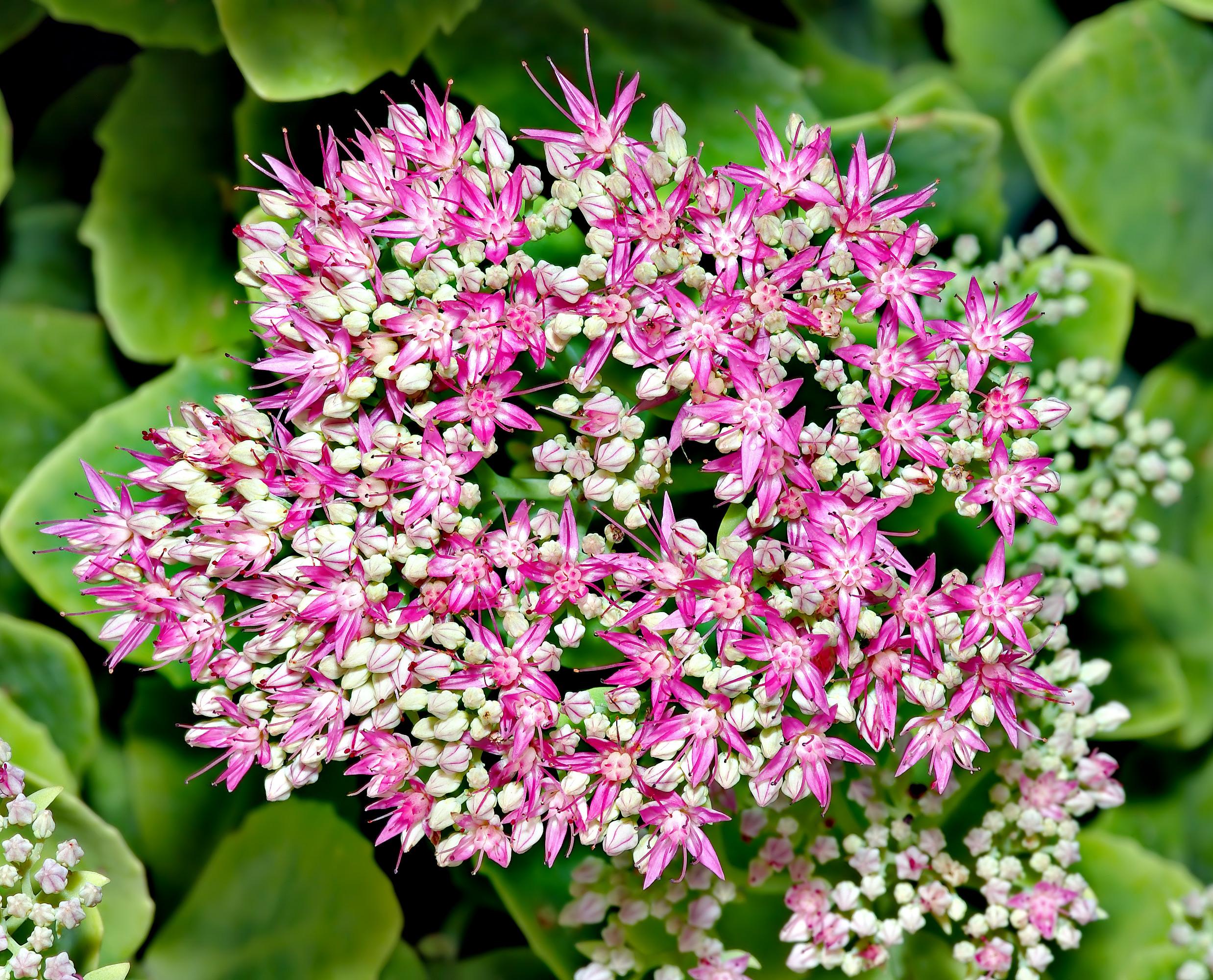 File sedum spectabile blossom top aka jpg wikimedia for Plante a suspendre exterieur