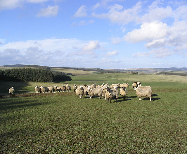 File:Sheep near New Kittyflat - geograph.org.uk - 356184.jpg
